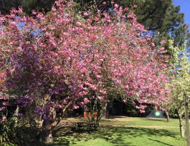 Cherry blossom at Felbrigg