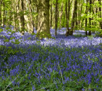 Enoy Stunning Bluebell woods whilst taking a short break in Norfolk