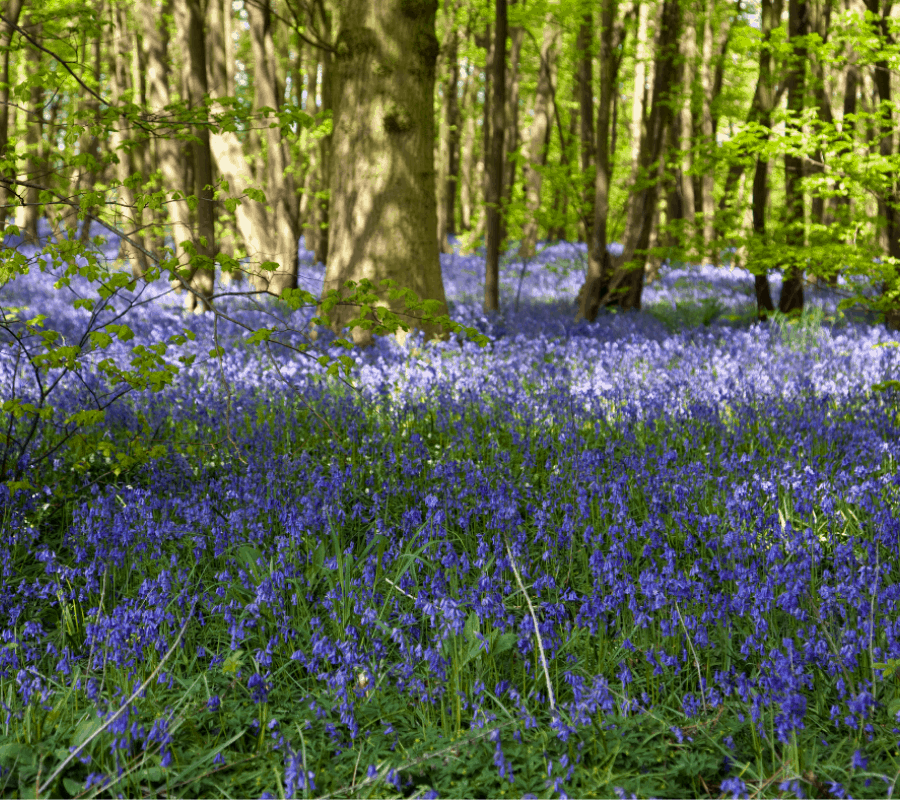 Enoy Stunning Bluebell woods whilst taking a short break in Norfolk